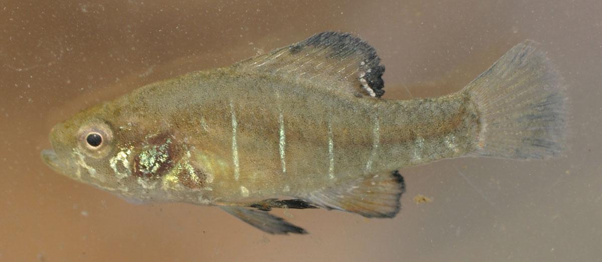 elassoma_alabamae_spring_pygmy_sunfish