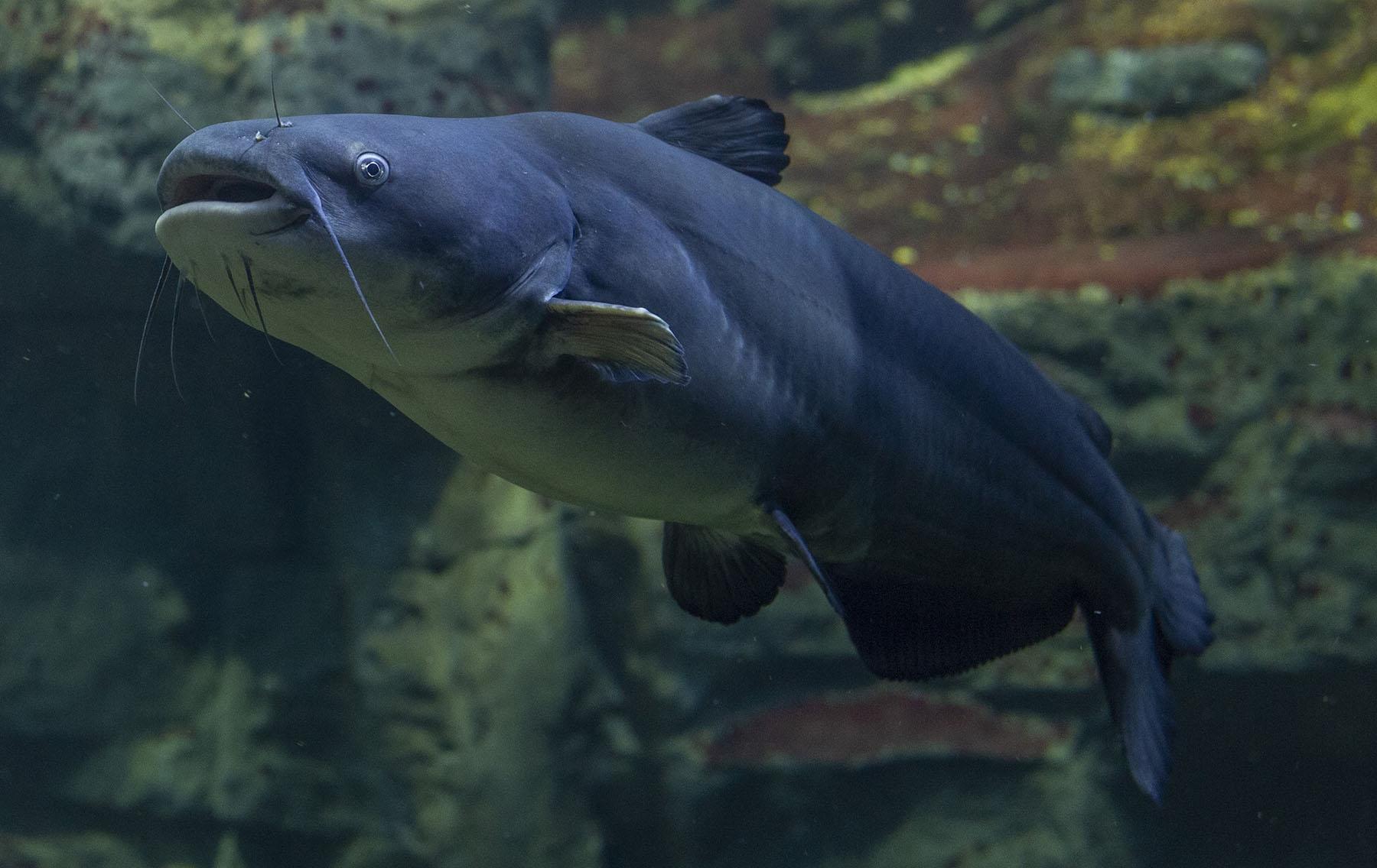 Blue Catfish Ictalurus furcatus Tennessee Aquarium Casey Phillips small