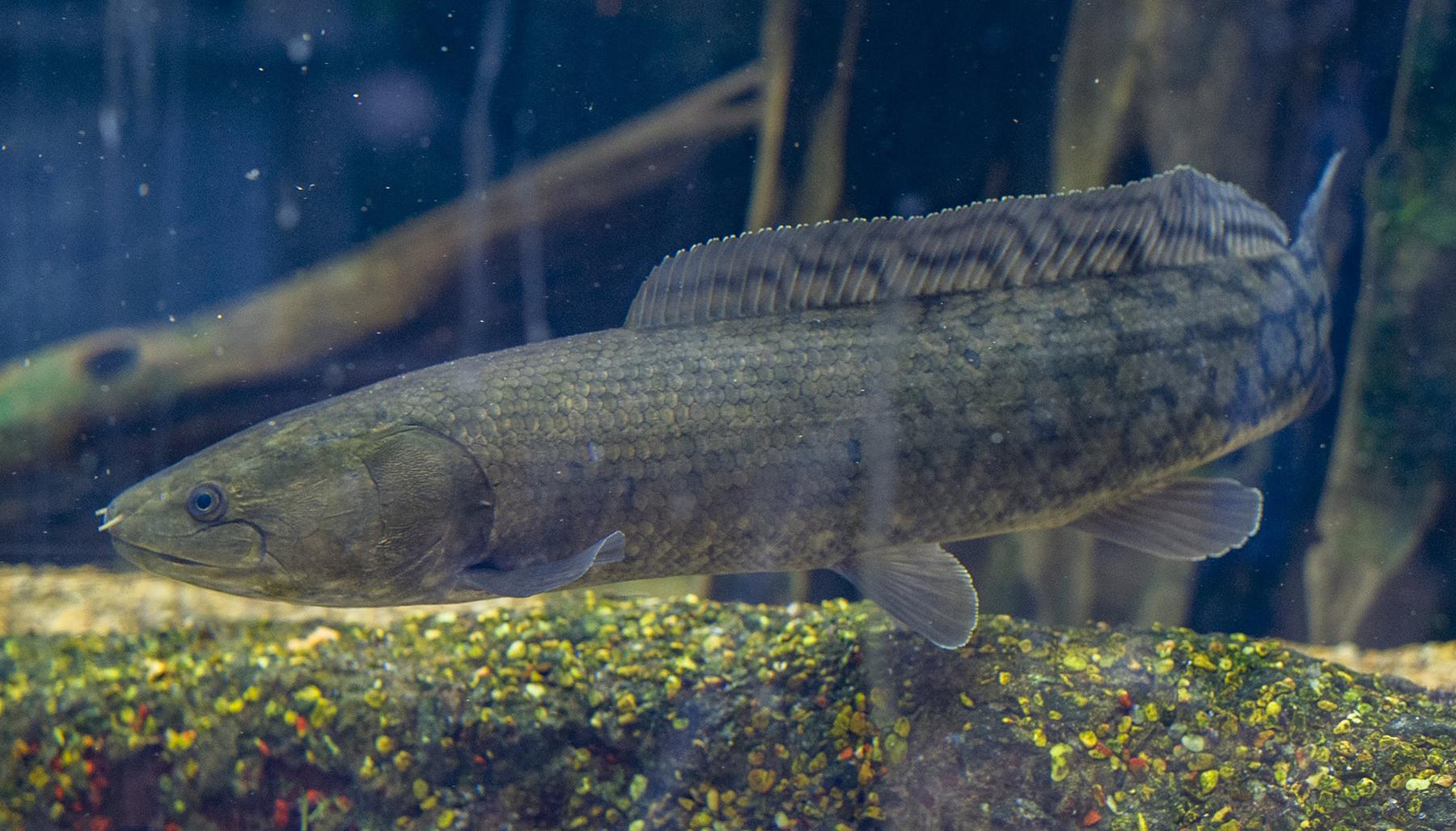 Bowfin Amoa calva TN Aquarium Casey Phillips
