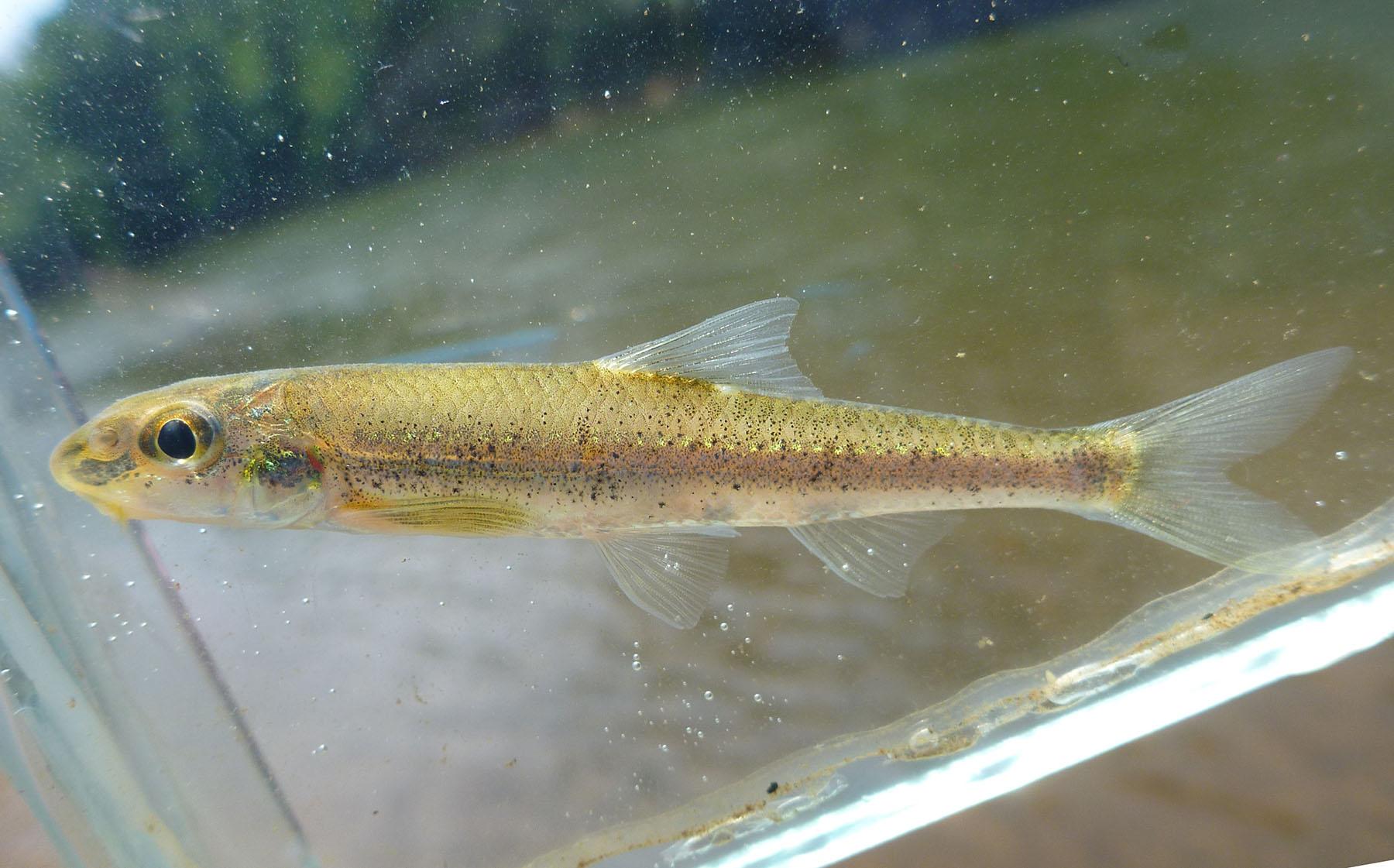 Macrhybopsis etnieri Cahaba River 12 June 2012 small
