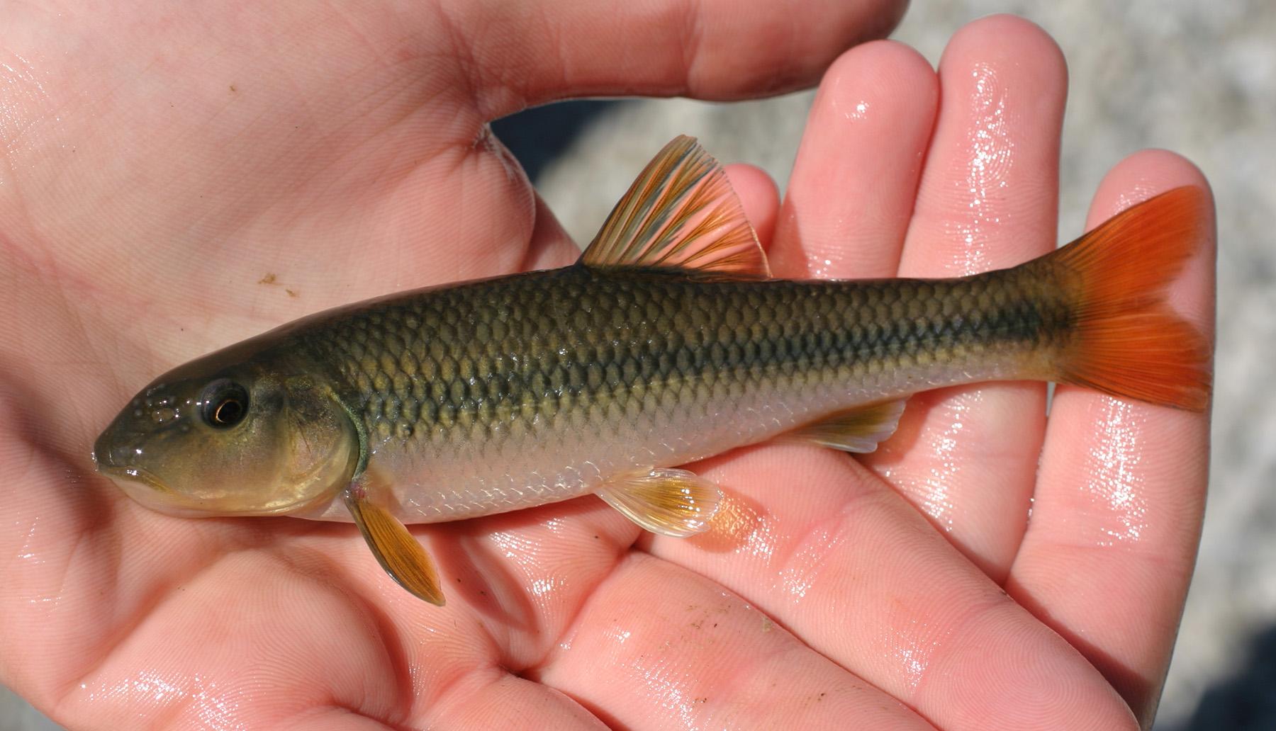 Nocomis micropogon River Chub New River BSF 2006