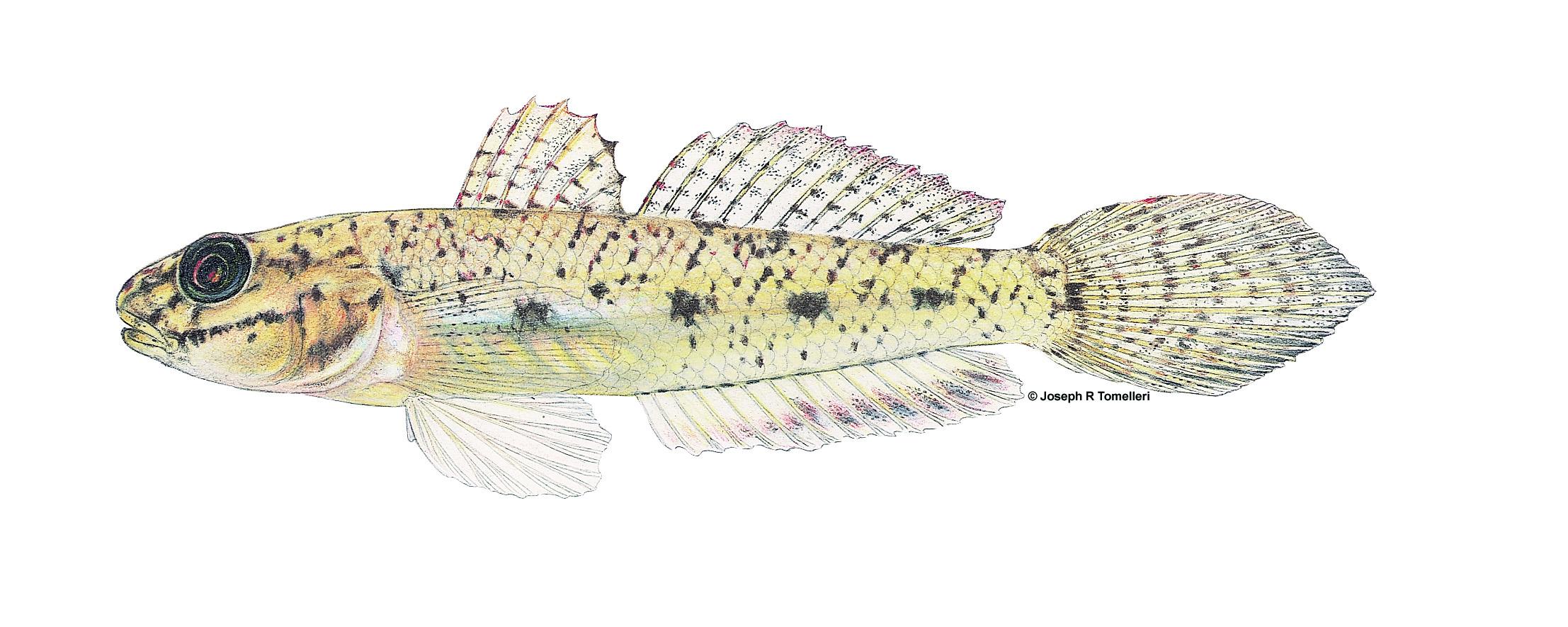 ctenogobius_shufeldti_american_freshwater_goby_0