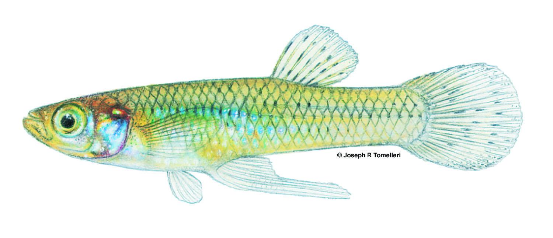 gambusia_holbrooki_eastern_mosquitofish_0