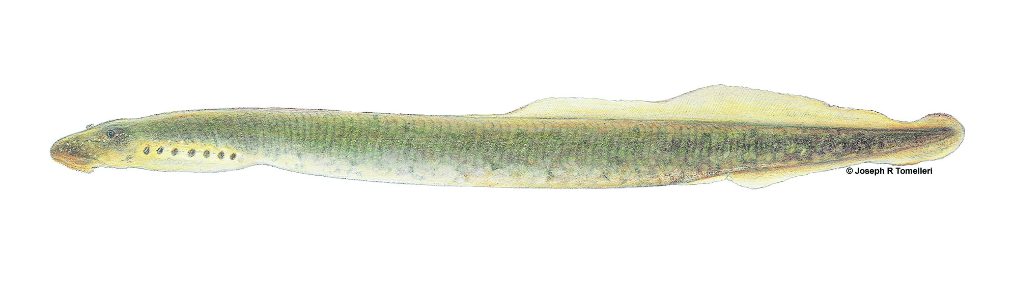 ichthyomyzon_greeleyi_mountain_brook_lamprey_1
