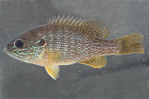 lepomis_cyanellus_green_sunfish
