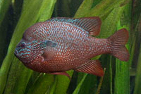 lepomis_megaloti_longear_sunfish