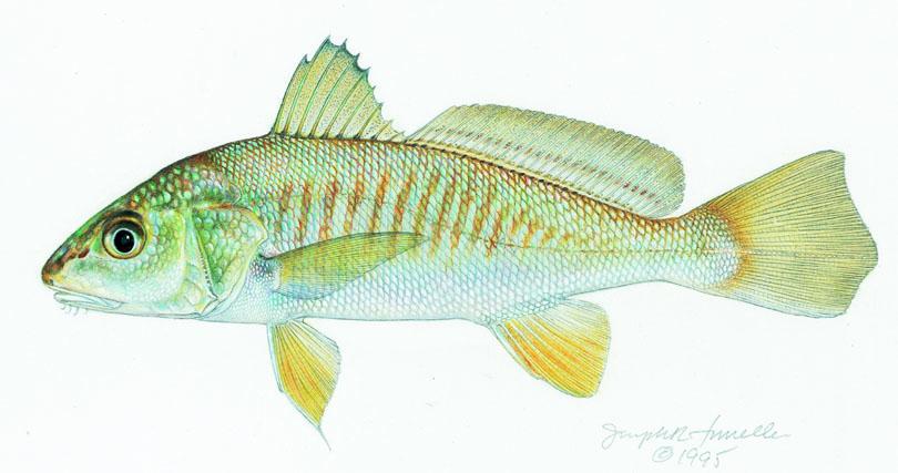micropogon_undulatus_atlantic_croaker