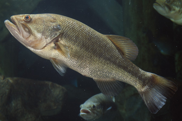 micropterus_salmoides_largemouth_bass