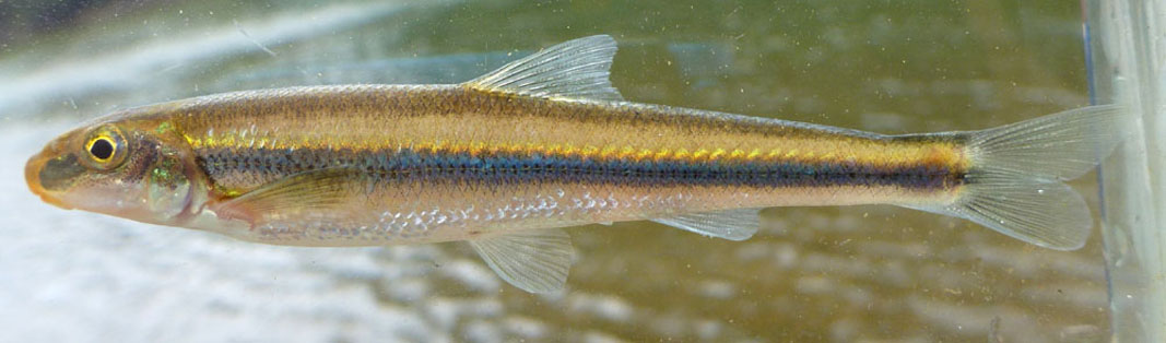 phenacobius_catostomus