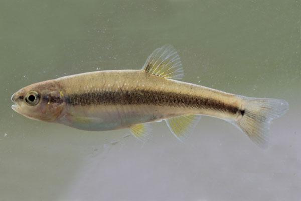 semotilus_atromaculatus_creek_chub