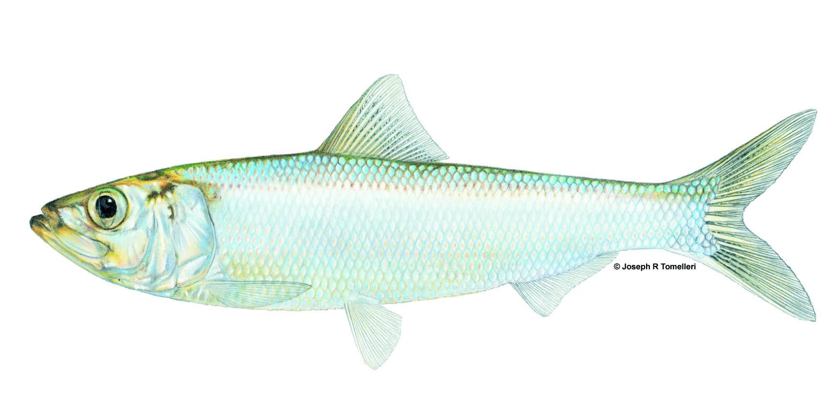 Alosa chrysochloris Skipjack Shad
