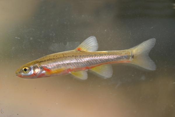 Chrosomus erythrogaster Southern Redbelly Dace