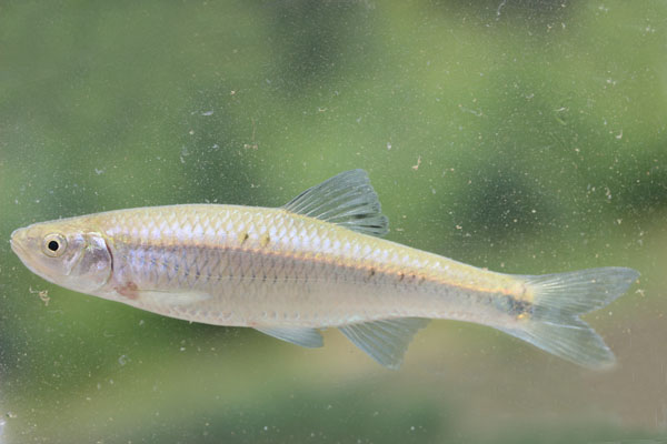 Cyprinella spiloptera Spotfin Shiner