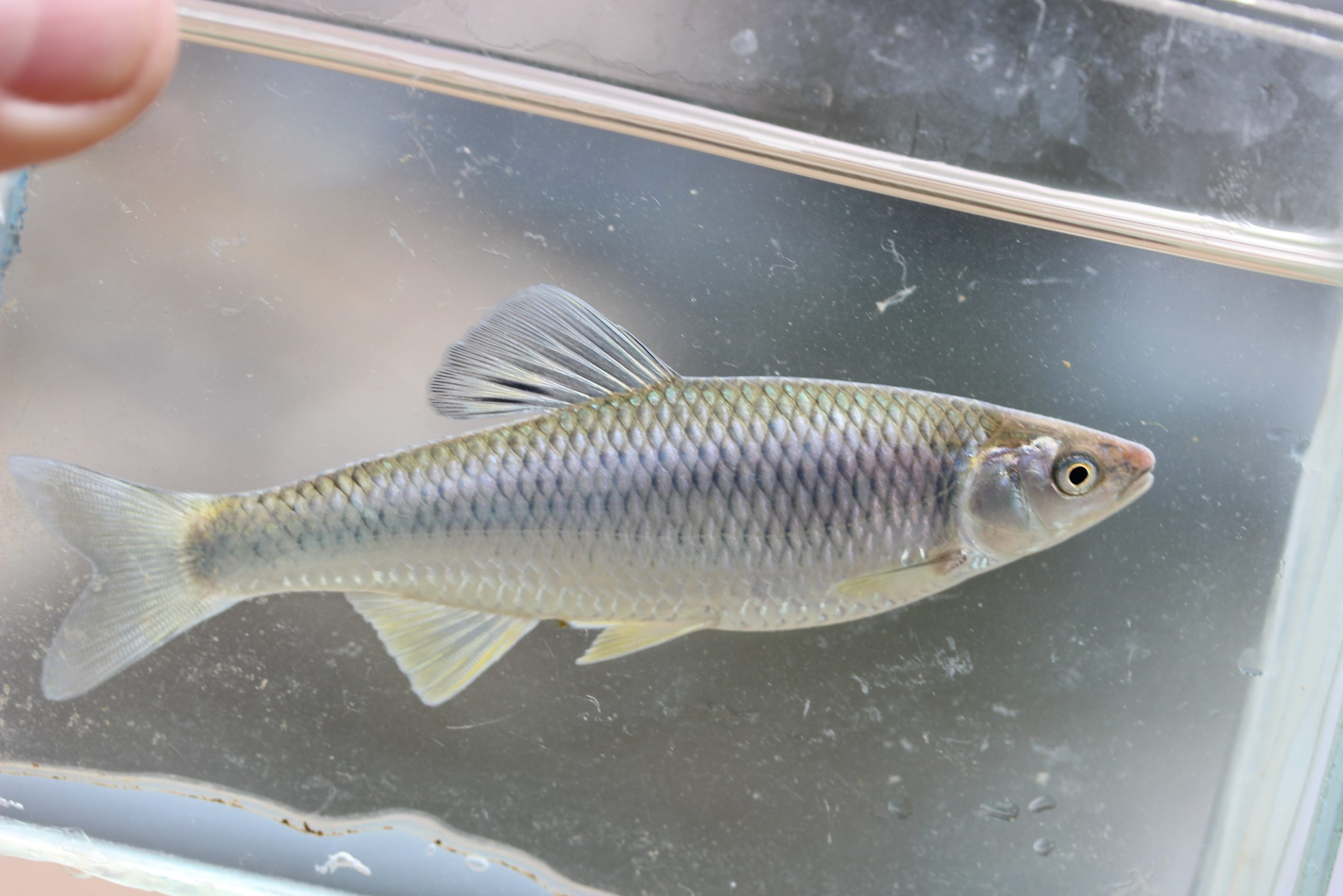 Cyprinella whipplei Steelcolor shiner