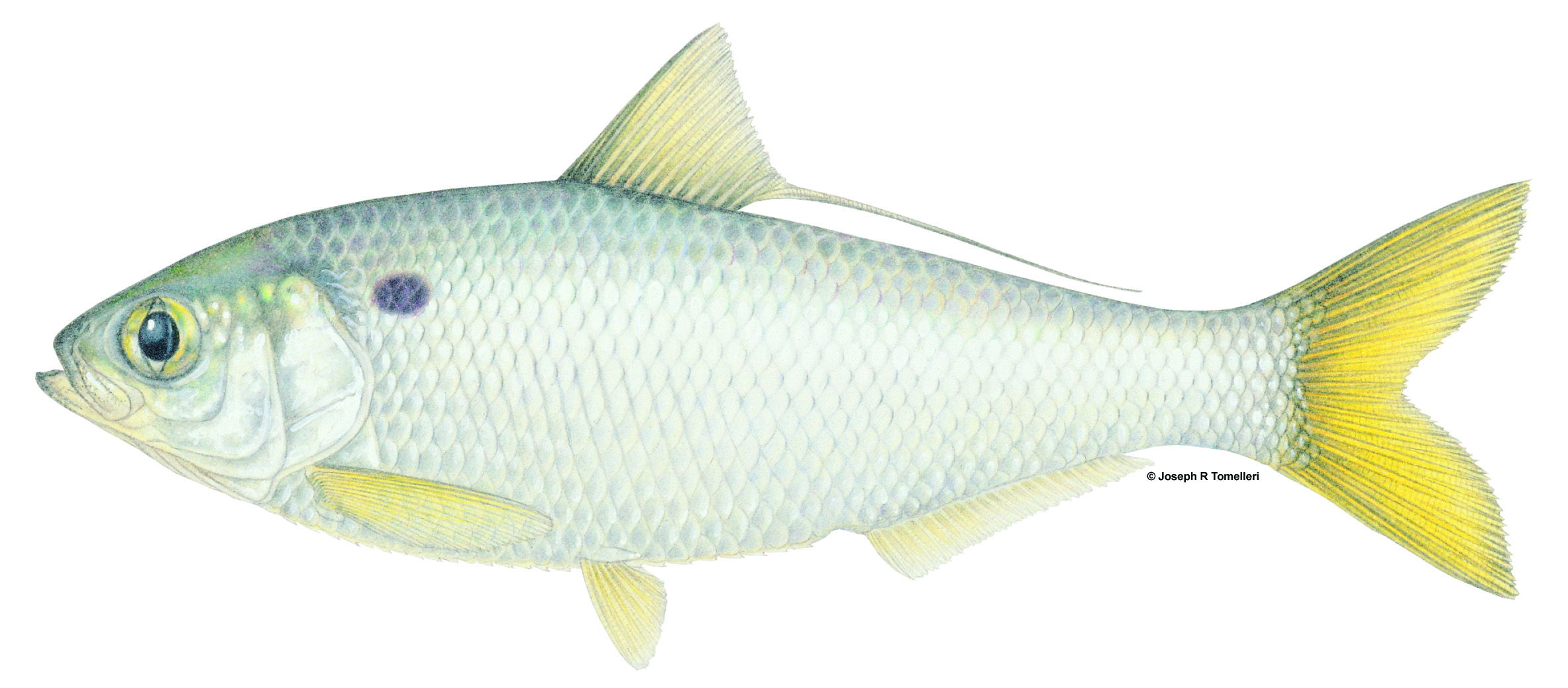 Dorosoma petenense Threadfin Shad