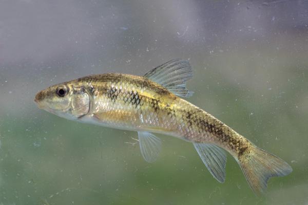 Erimyzon claviformis Western Creek Chubsucker