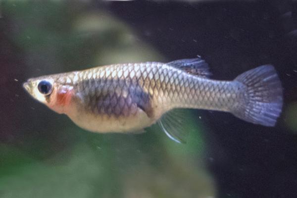 Gambusia affinis Mosquitofish