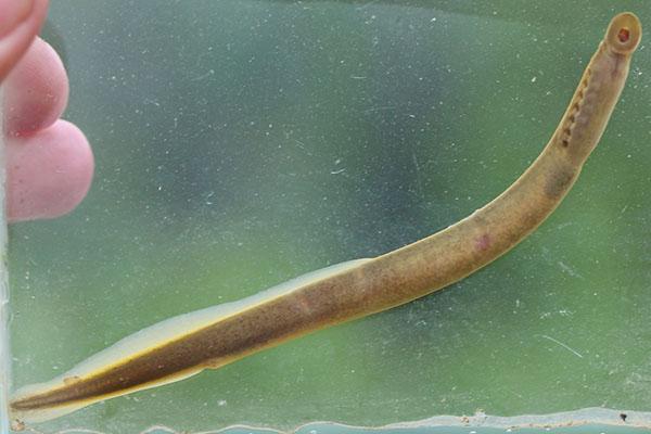 Ichthyomyzon gagei Southern Brook Lamprey