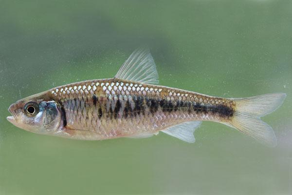 Luxilus chrysocephalus Striped Shiiner