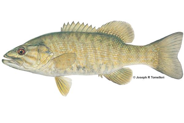Micropterus dolomieu Smallmouth Bass