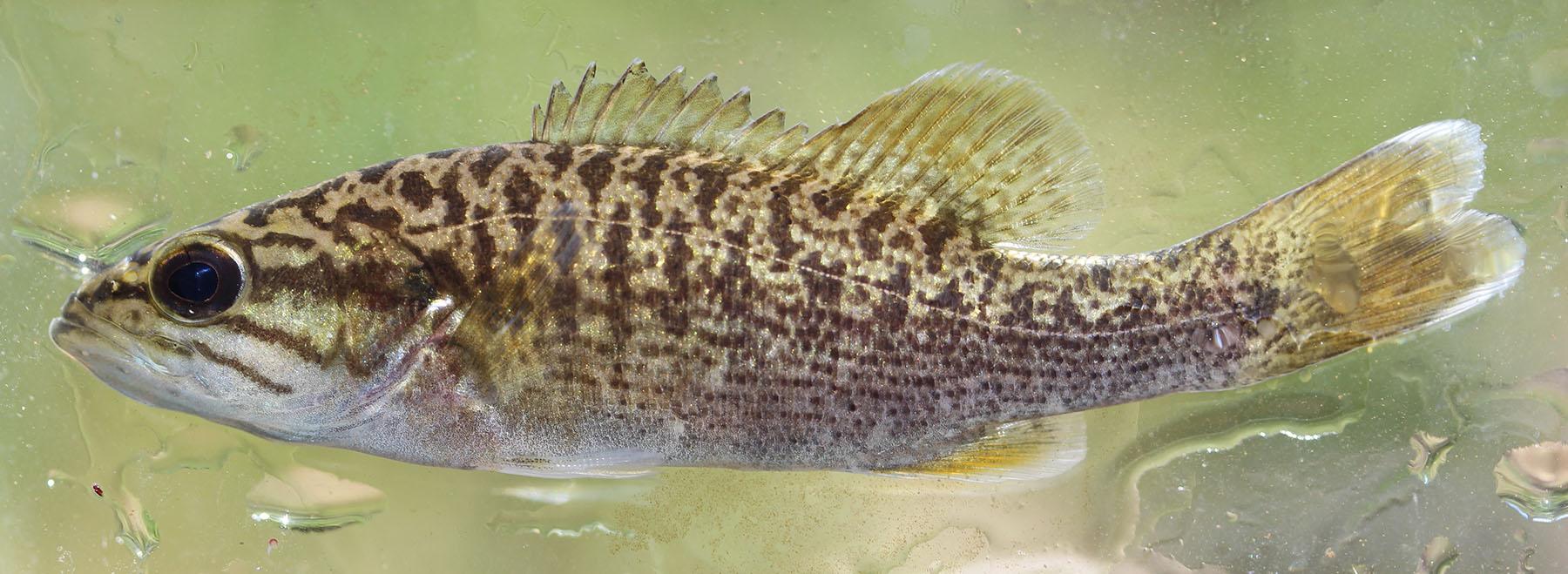 Micropterus warriorensis Turkey Creek 4 Oct 2017
