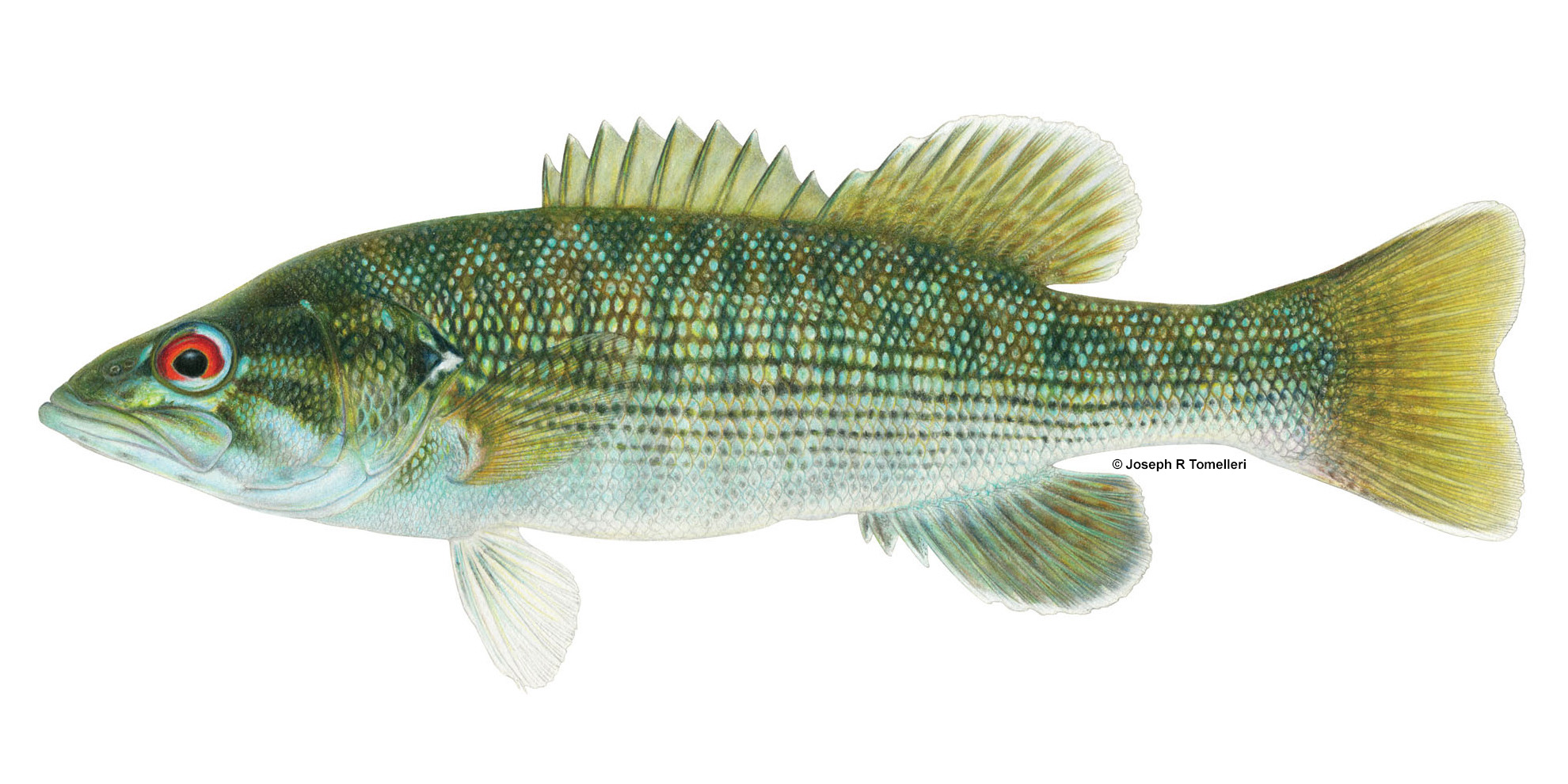 Micropterus_tallapoosae_Tallapoosa_Bass