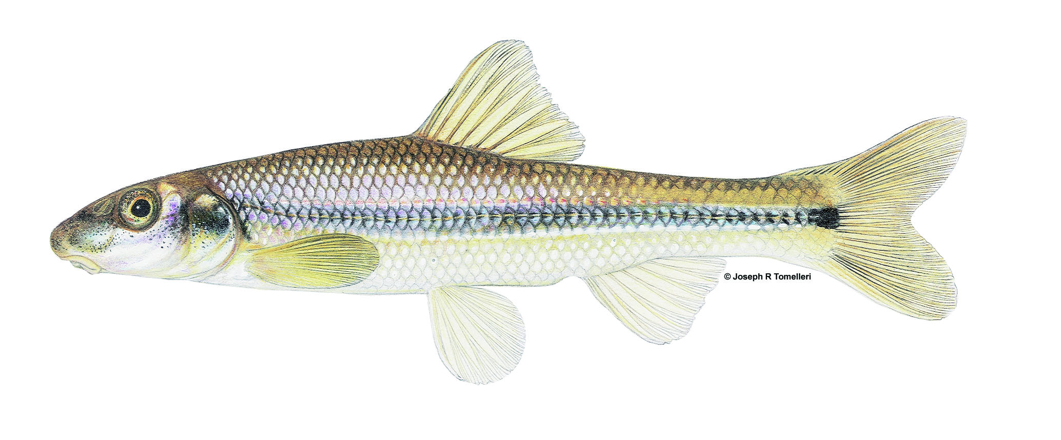 Phenacobius mirabilis Suckermouth Minnow