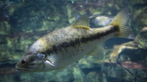Micropterus punctuatus Spotted Bass