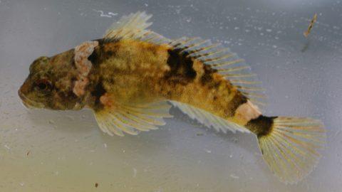 Pygmy Sculpin Cottus paulus 2 Oct 2004 1