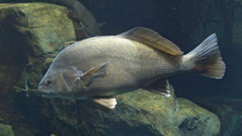 aplodinotus_grunniens_freshwater_drum