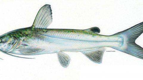 ariopsis_felis_hardhead_catfish_0