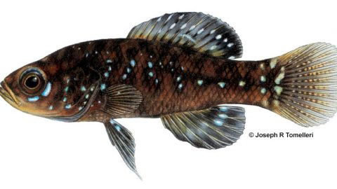 elassoma_evergladei_everglades_pygmy_sunfish_0