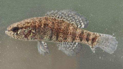 elassoma_zonatum_banded_pygmy_sunfish