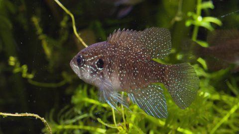 enneacanthus_gloriosus_bluespotted_sunfish