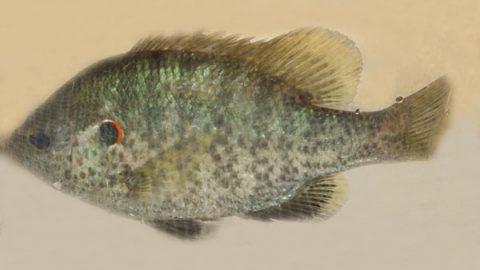 lepomis_microlophus_redear_sunfish